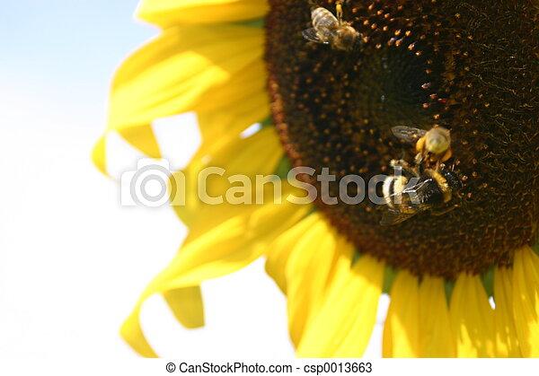 Sunflower - csp0013663