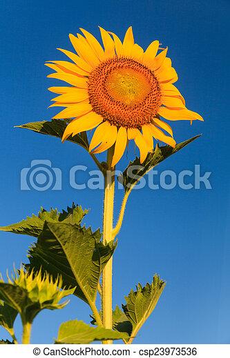 Sunflower - csp23973536