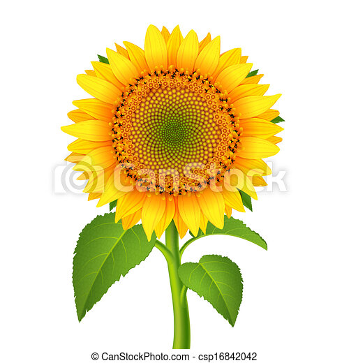 Sunflower with pedicle - csp16842042