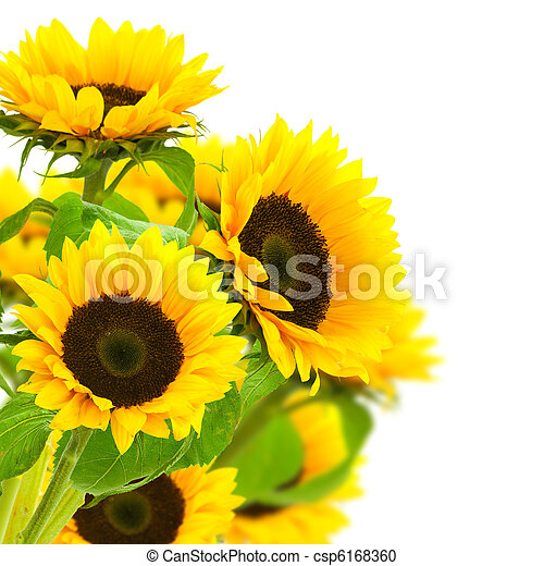 Sunflowers Border Over A White Background Stock Photo
