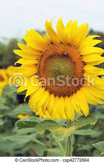 Sunflowers field at beautiful in the garden. - csp42772664