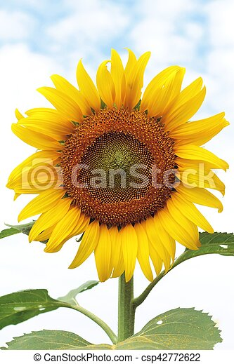 Sunflowers field at beautiful in the garden. - csp42772622