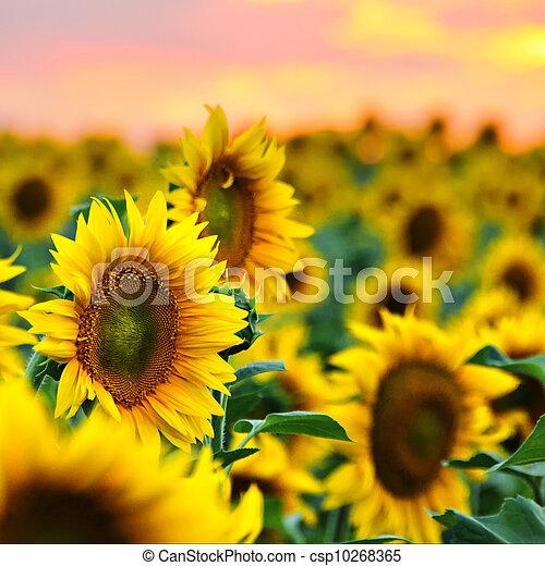 Sunflowers field at sunset - csp10268365