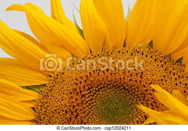 Sunflowers isolated on white background - csp12024211