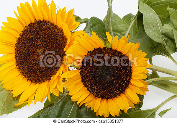 Sunflowers isolated on white background - csp15051377