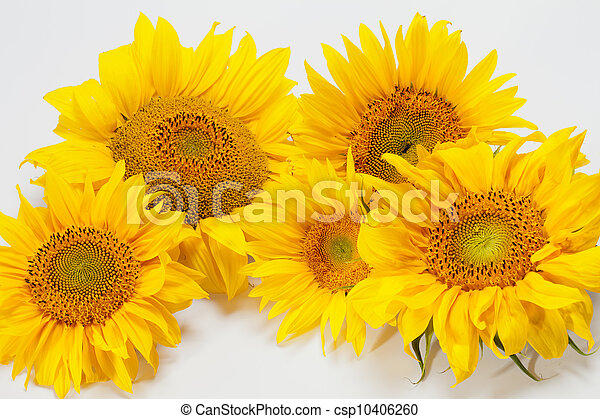 Sunflowers isolated on white background - csp10406260