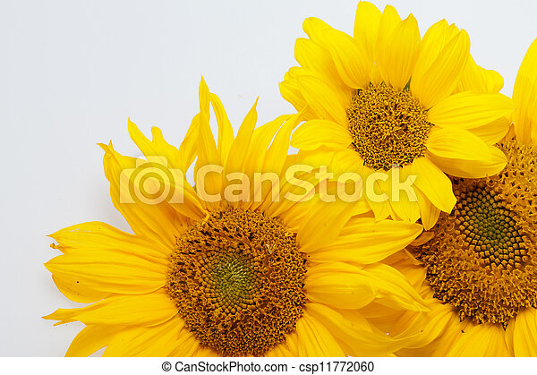 Sunflowers isolated on white background - csp11772060