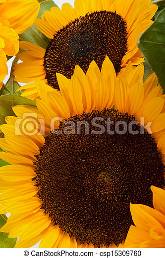 Sunflowers isolated on white background - csp15309760