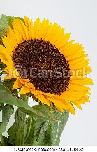 Sunflowers isolated on white background - csp15178452