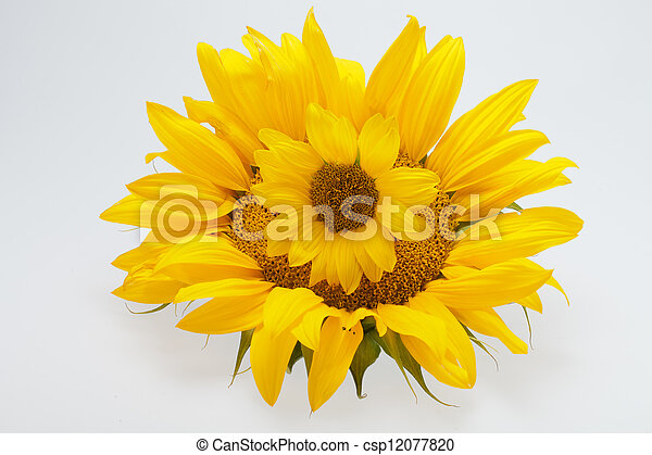 Sunflowers isolated on white background - csp12077820