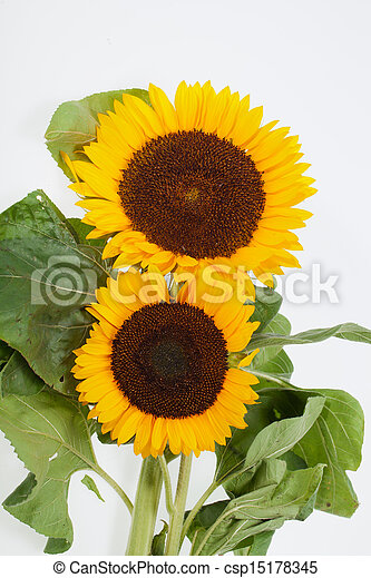 Sunflowers isolated on white background - csp15178345