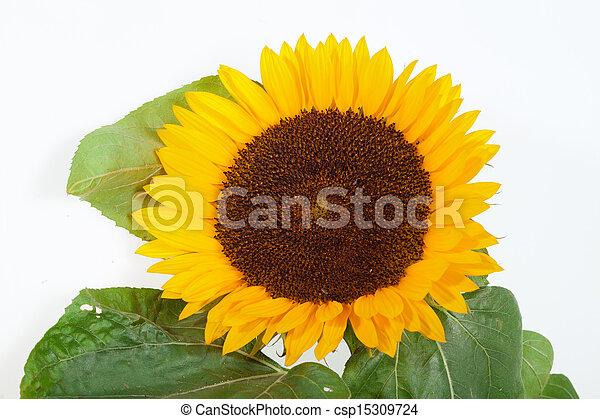 Sunflowers isolated on white background - csp15309724