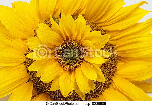 Sunflowers isolated on white background - csp10339906