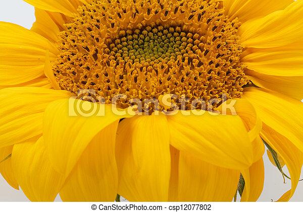 Sunflowers isolated on white background - csp12077802