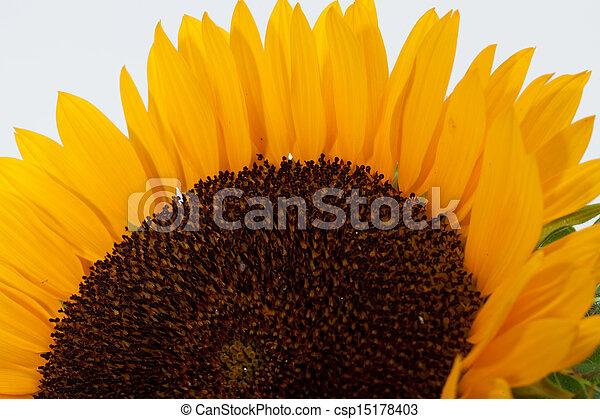 Sunflowers isolated on white background - csp15178403