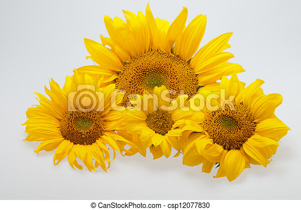 Sunflowers isolated on white background - csp12077830