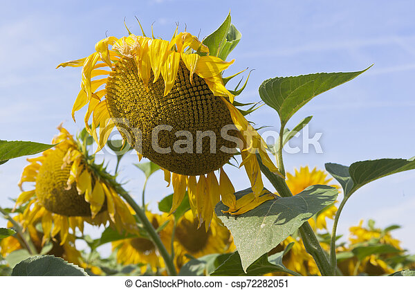 Sunflowers on a background of blue sky - csp72282051