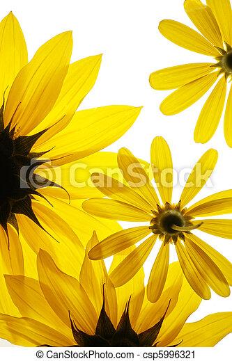 Sunflowers on white background - csp5996321