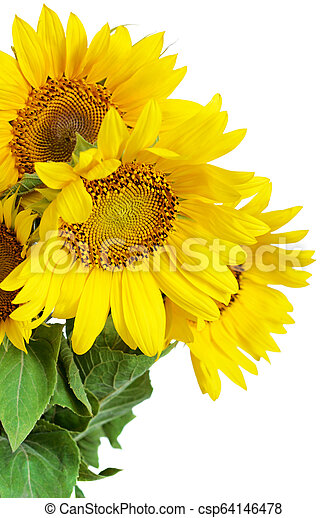 Sunflowers on white background - csp64146478