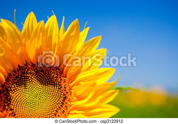 Sunflowers - csp3122912