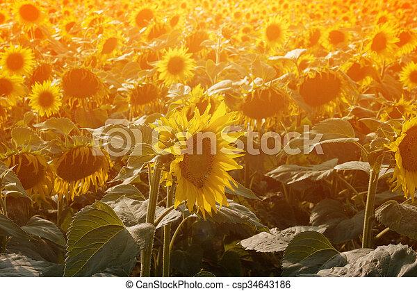 Sunflowers Summer Background - csp34643186