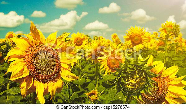 Sunflowers under the blue sky. beautiful rural scene - csp15278574