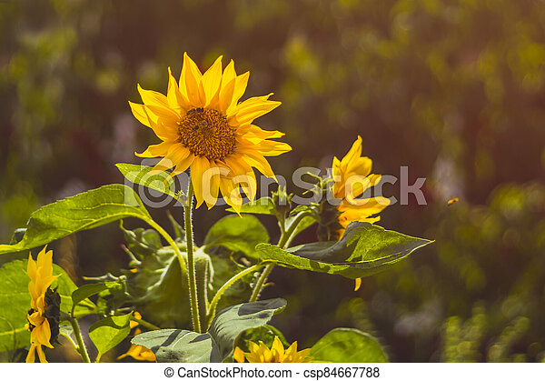 Sunflowers with bees, green leaves - csp84667788