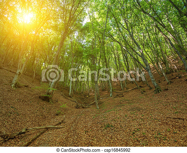 Sunlight through the trees in the forest - csp16845992