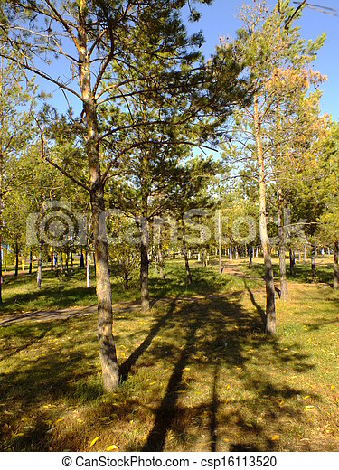 Sunlit pines in the forest - csp16113520