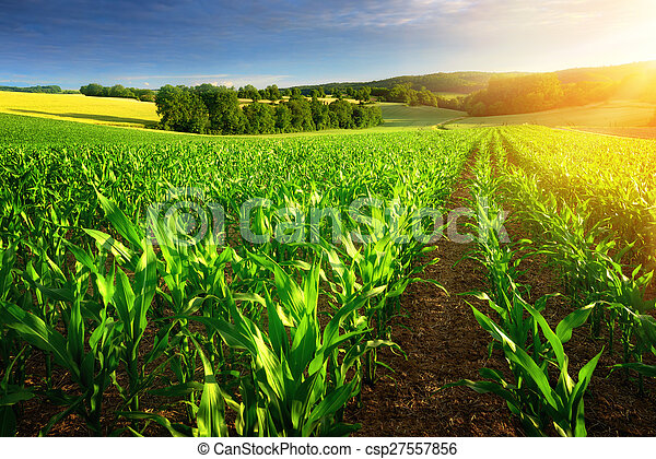 Sunlit rows of corn plants - csp27557856