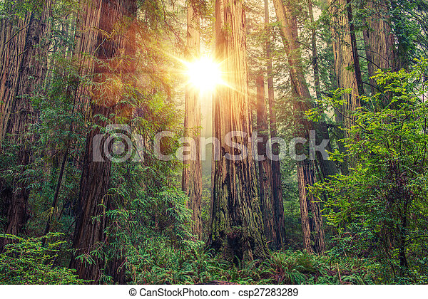 Sunny Redwood Forest - csp27283289