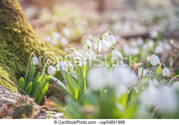 Sunrise light on the white tender snowdrops in the spring forest. - csp54801998