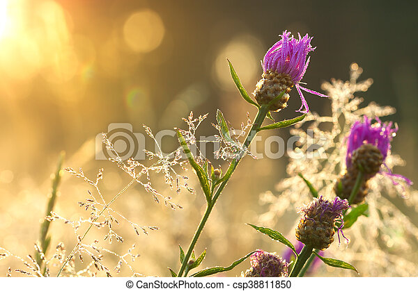 sunrise on the blossoming summer meadow - csp38811850