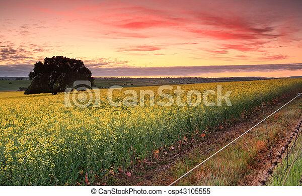 Sunrise over Canola fields - csp43105555