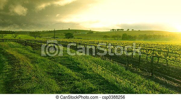 Sunrise over the Vineyard - csp0388256