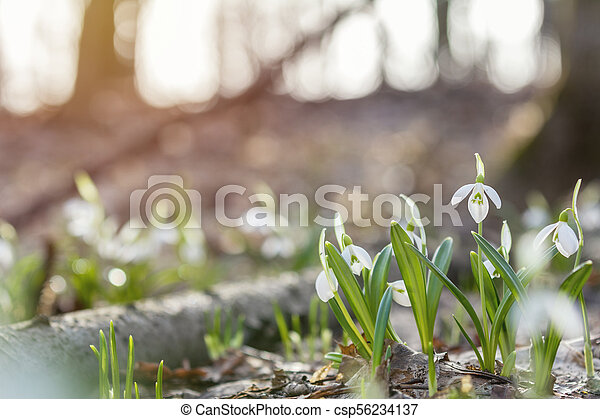 Sunrise sunset light on the white tender snowdrops in the spring forest - csp56234137