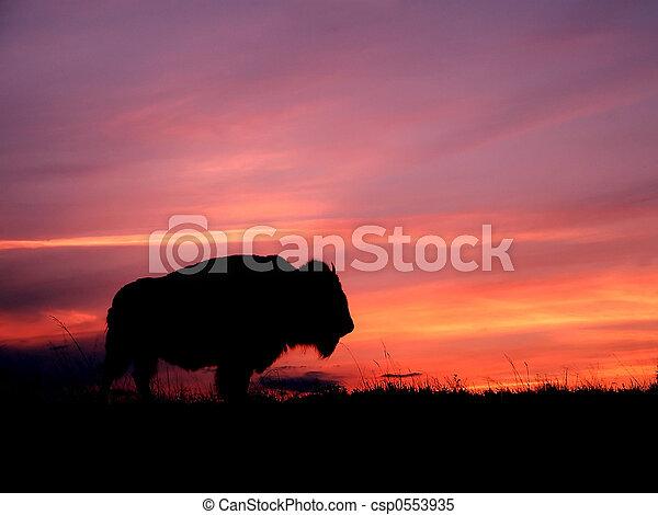 Sunset Bison - csp0553935