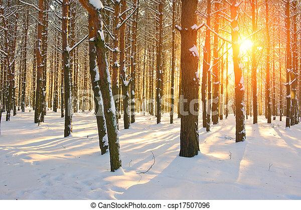 Sunset in pine forest. Winter season - csp17507096