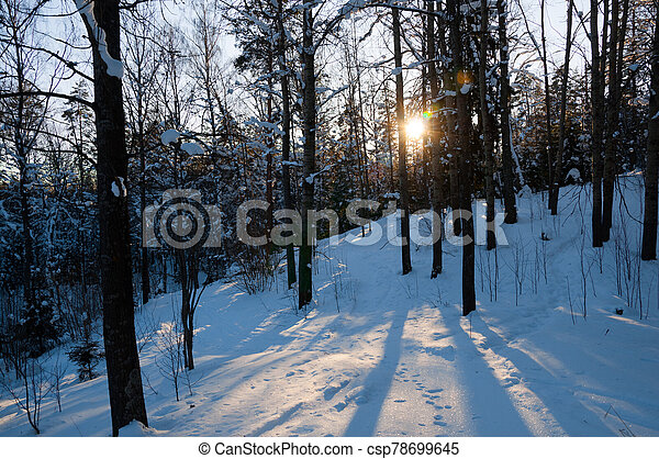 Sunset in the winter forest. Sunbeams and shadows of trees. - csp78699645