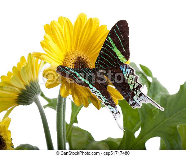 Sưu tập Bộ cánh vẩy 2 - Page 25 Sunset-moth-urania-leilus-pictures_csp51717480