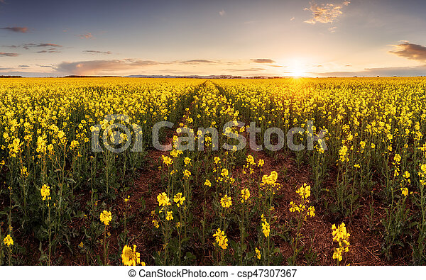 Sunset over canola field with path in Slovakia - panorama - csp47307367