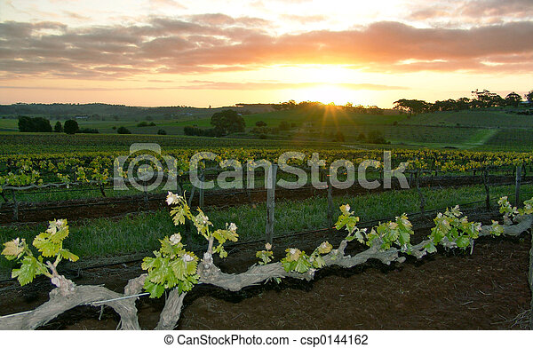 Sunset over Vineyard - csp0144162