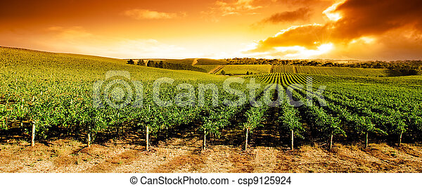 Sunset Vineyard Panorama - csp9125924