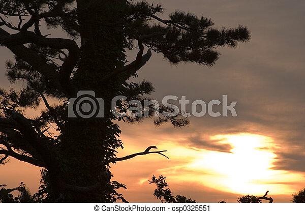 Sunset with Pine - csp0325551