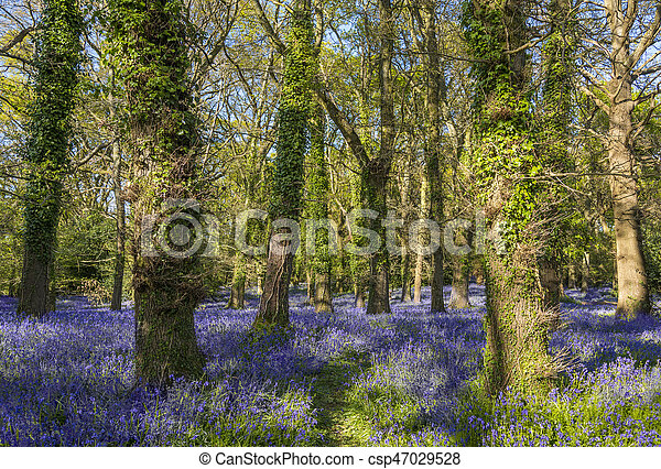 Sunshine through the leaves in bluebell woods in Dorset - csp47029528
