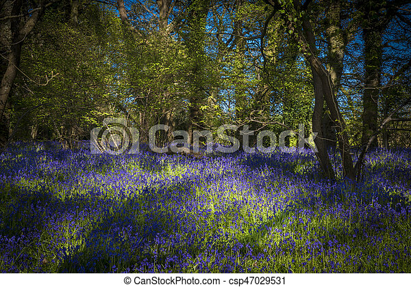Sunshine through the leaves in bluebell woods in Dorset - csp47029531