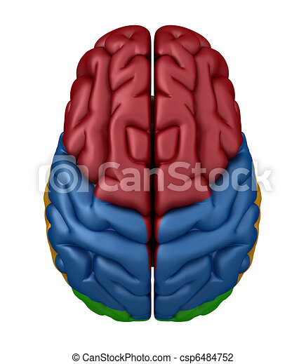 Superior view of the brain. Color coded lobes.
