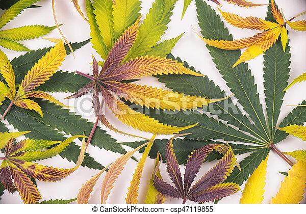 sur, concept, modèle, monde médical, -, isolé, marijuana, cannabis, fond, blanc, feuilles - csp47119855