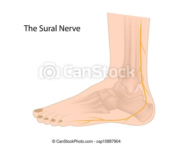 sural, eps10, nerv - csp10887904