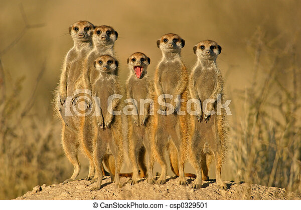suricate, familia  - csp0329501